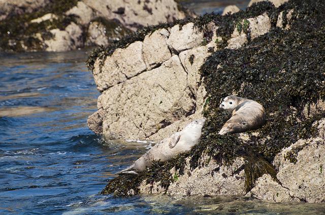 Zeehond Zonnend aan het water kijkend