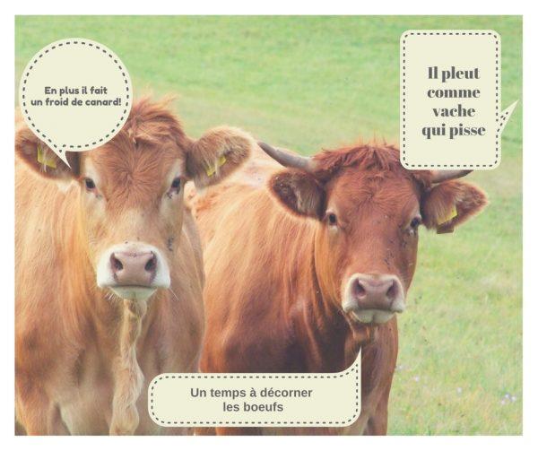 uitdrukkingen met koe