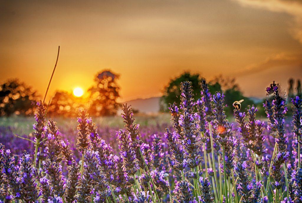 bonnieux-lavender-cc-Sebastian-Dunkel