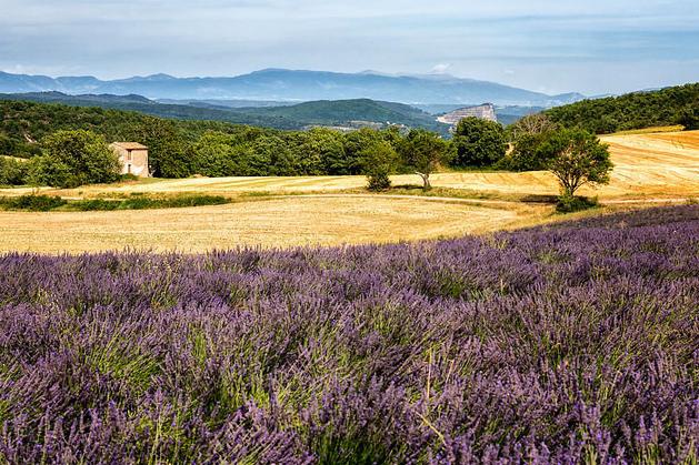 Lavendelveld in de Provence