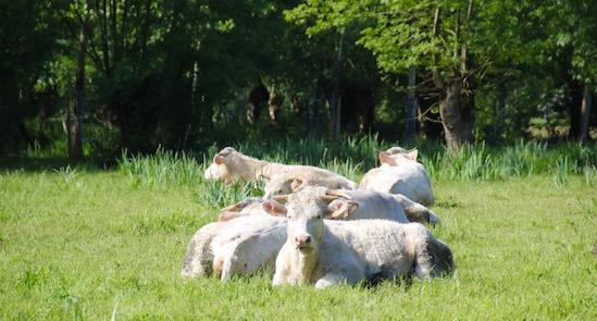 koeien langs de route vd VeloFrancette
