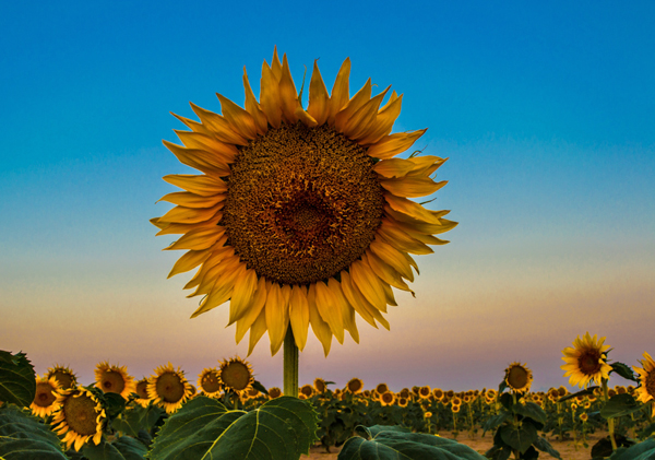 Lot-et-Garonne vakantiestreek zonnebloemen