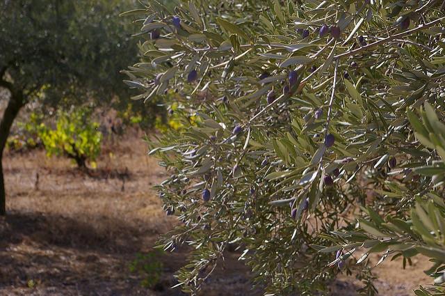 Het mooiste van de Luberon Provence olijven