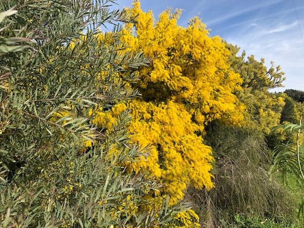 Mimosa-route Zuid-Frankrijk Provence