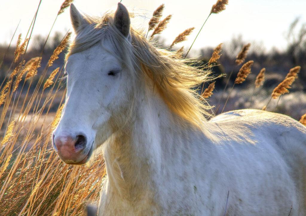 Wilden paarden in de Camargue