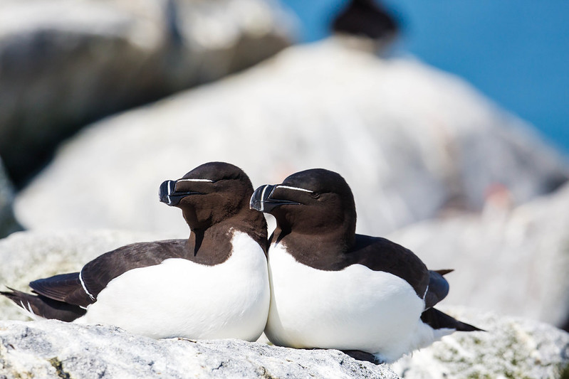 'Vliegende pinguïns' in Bretagne