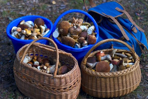 paddenstoelen plukken