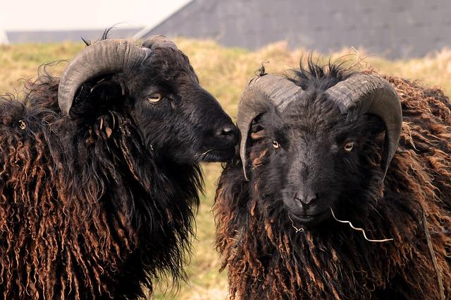 Dwergschapen van het eiland Ouessant