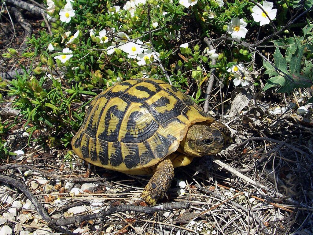 Hermann-schildpadden in de Provence