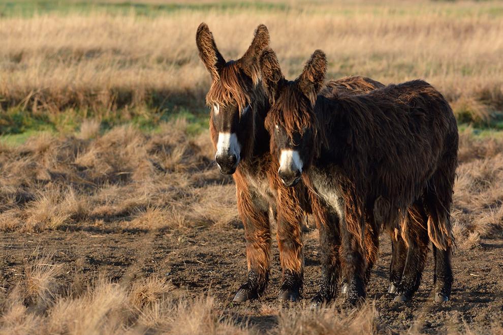 Ezeltjes uit de Poitou Baudet