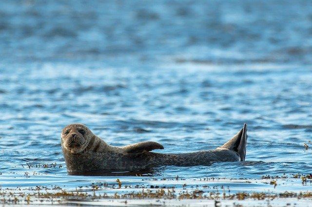 zeehonden Baie de Somme